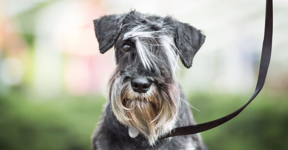 : Gray Schnauzer with long hair, looking at camera