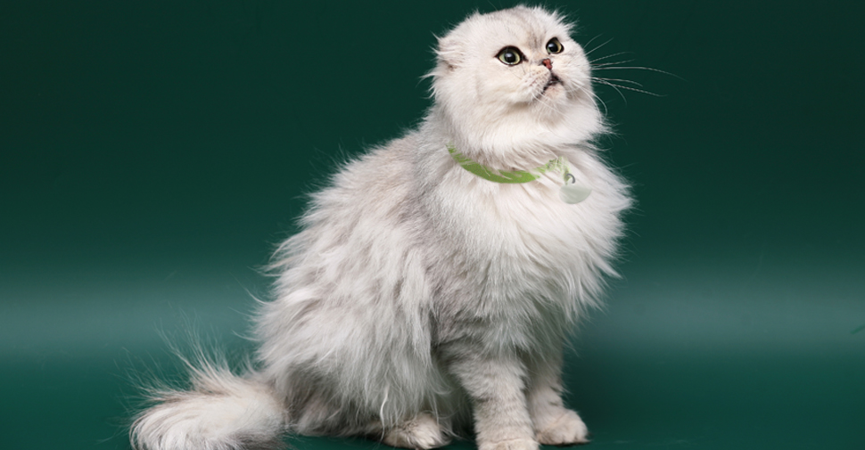 Fluffy Scottish Fold cat looking up and to the right.