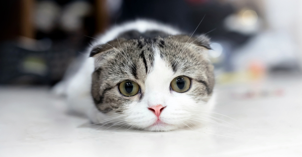 Cute Scottish Fold kitten, looking sweetly at the camera