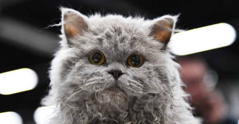 Gray Selkrik Rex cat with curly fur, small ears and round, yellow eyes