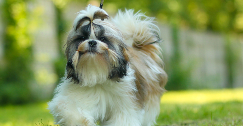 Small, white, tan and gray hypoallergenic Shih Tzu on a walk outdoors.