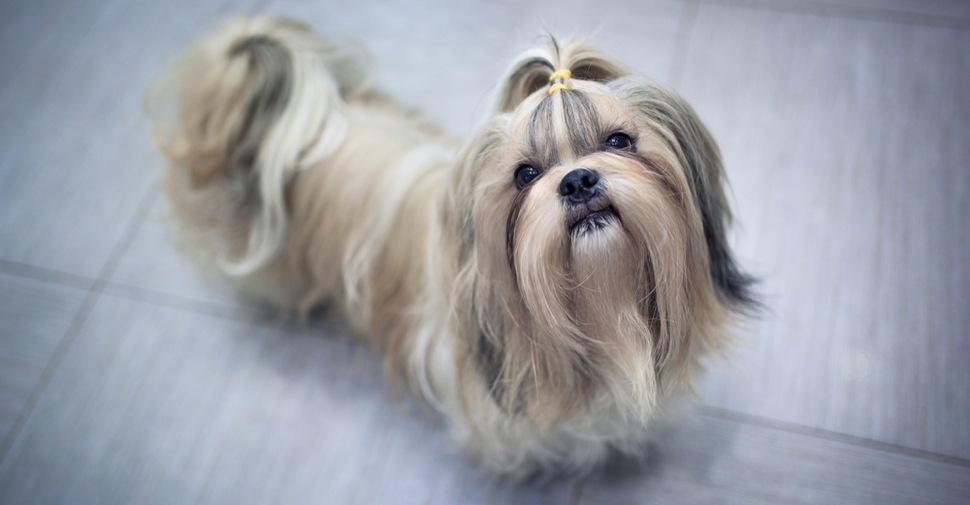 Long Haired Dogs Top Breeds And Grooming Needs Petfinder
