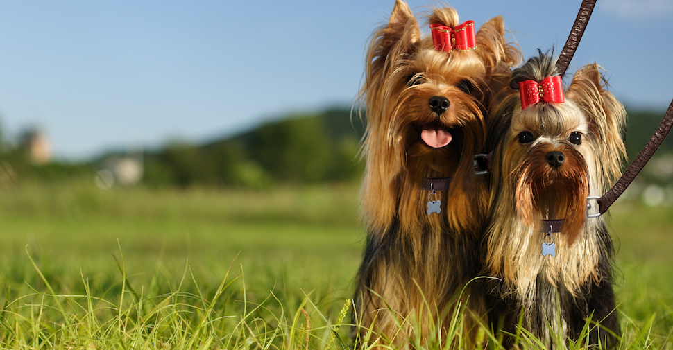 Two cute long-haired Yorkie dogs sitting in the grass