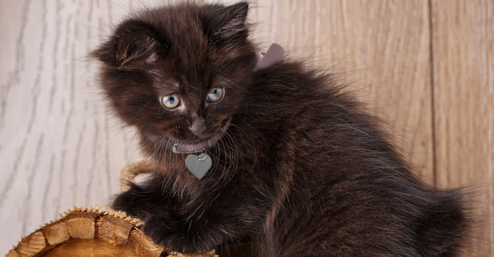 American Bobtail black kitten with green eyes looking behind herself and climbing on top of small wooden chest.