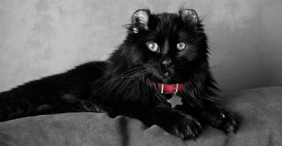Adult American curl black cat breed lying with front legs stretched out over top of gray couch with light gray background wallpaper.