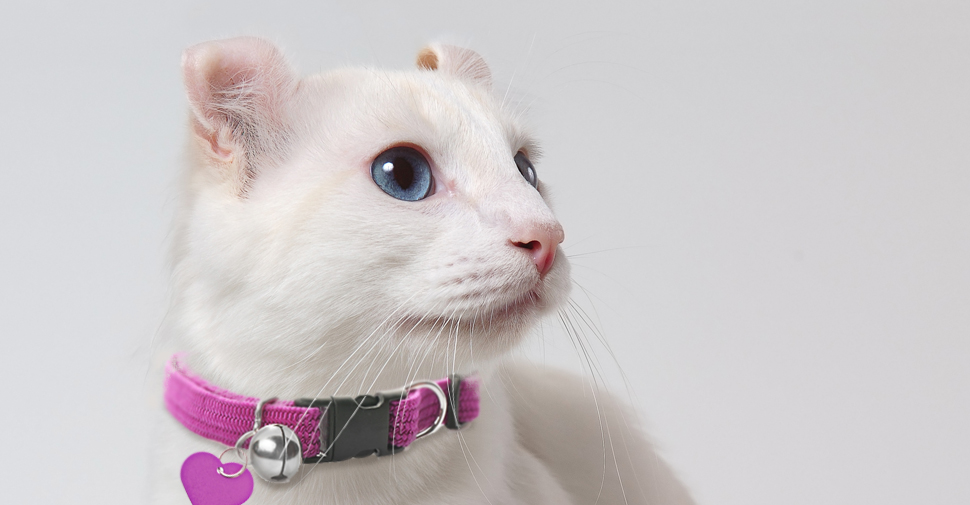 American Curl white cat breed with big blue eyes and curled ears facing sideways on white background.