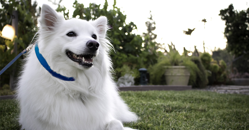 Cute, white American Eskimo Dog lying in the grass and smiling, looking to the right of the camera