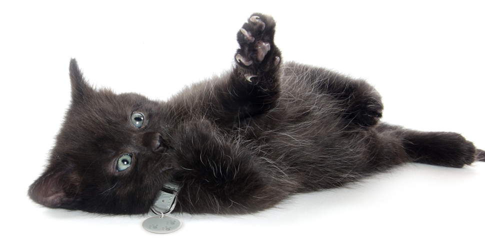 American shorthair black kitten with light blue eyes lying on right side with left paw in air, playing, on white background.