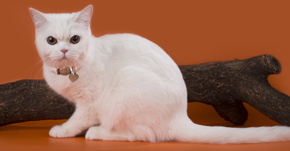 American Shorthair white cat with round fluffy face on orange background posing in front of tree branch.