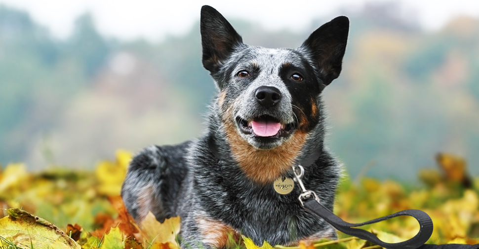 Medium size Australian cattle dog outdoors laying in fall leaves.
