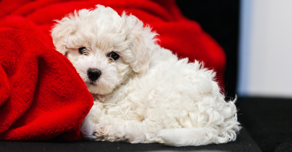 Cute, white Bichon Frise puppy snuggling with red blanket