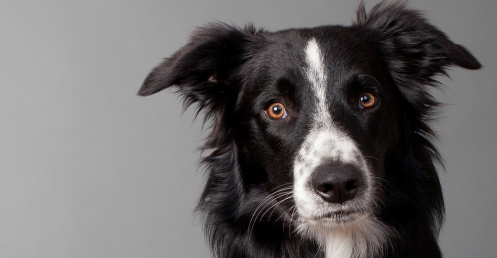 Close up of medium size, black and white Border Collie indoors with striking orange eyes.