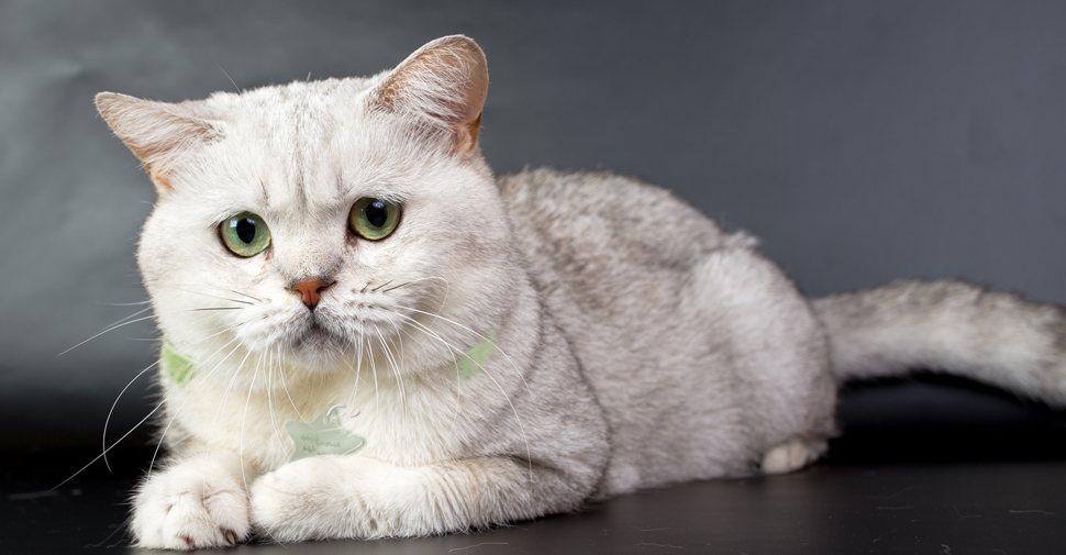 British Shorthair white cat breed with large fluffy face and green eyes laying down on black surface against dark background.