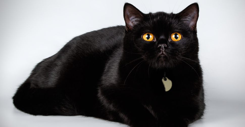 Shiny, black British Shorthair cat with yellow eyes lying down and looking up at camera on white background