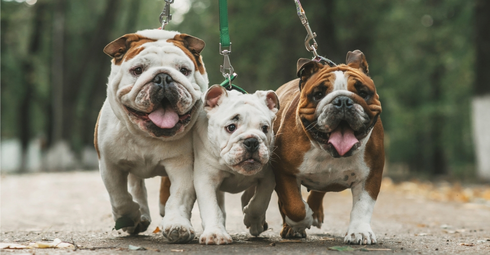 3 bull dogs walking on leashes