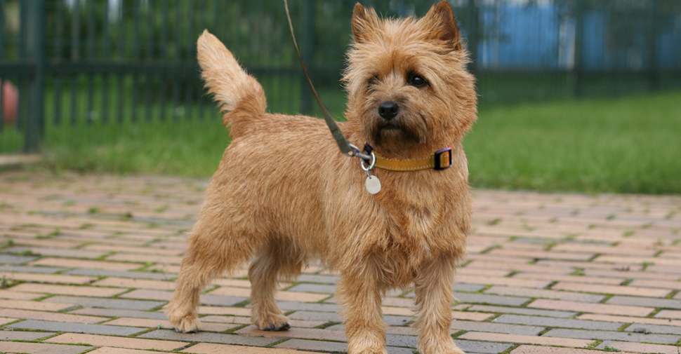 Cute tan Cairn terrier standing on brick patio with fence and yard in the background