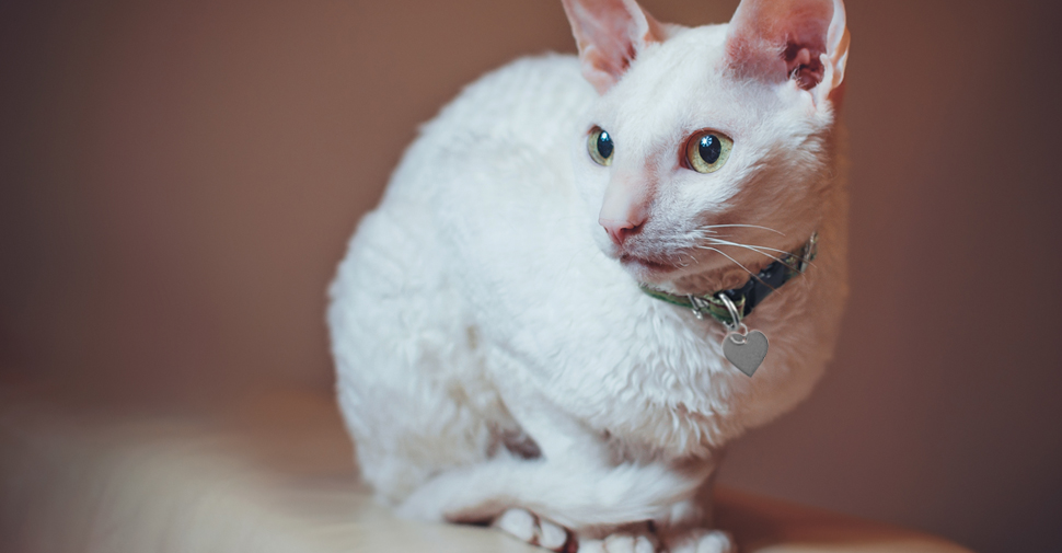 Cornish Rex white cat breed with light green eyes and wavy fur coat curled up and sitting on the top of shelf.