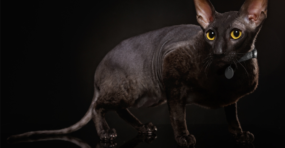 Black Cornish Rex cat on black background, light eyes