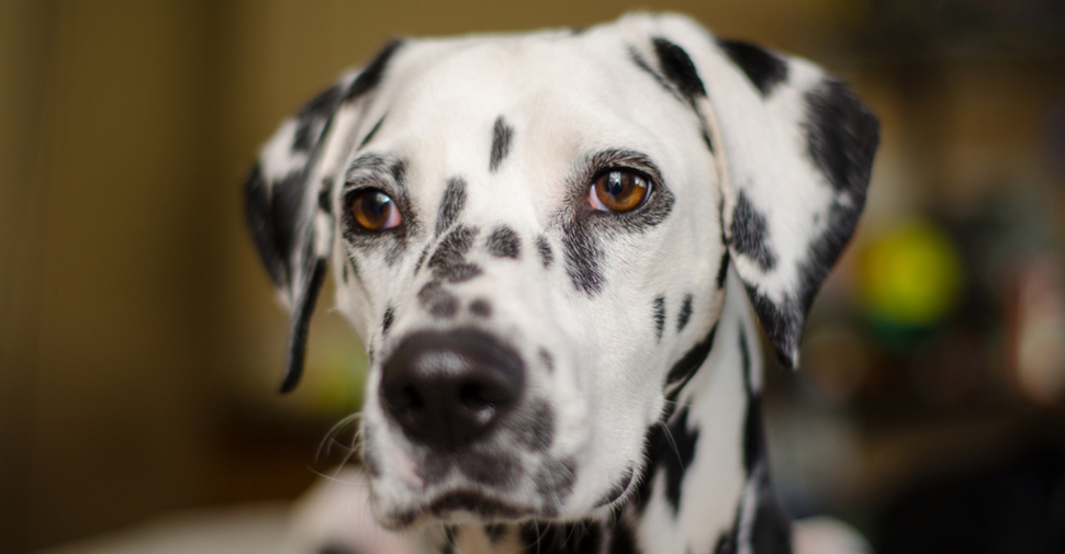 Close up of black and white spotted, large, medium sized Dalmatian dog standing indoors.