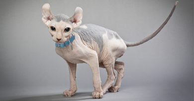 Hairless Elf Cat with its tail in the air