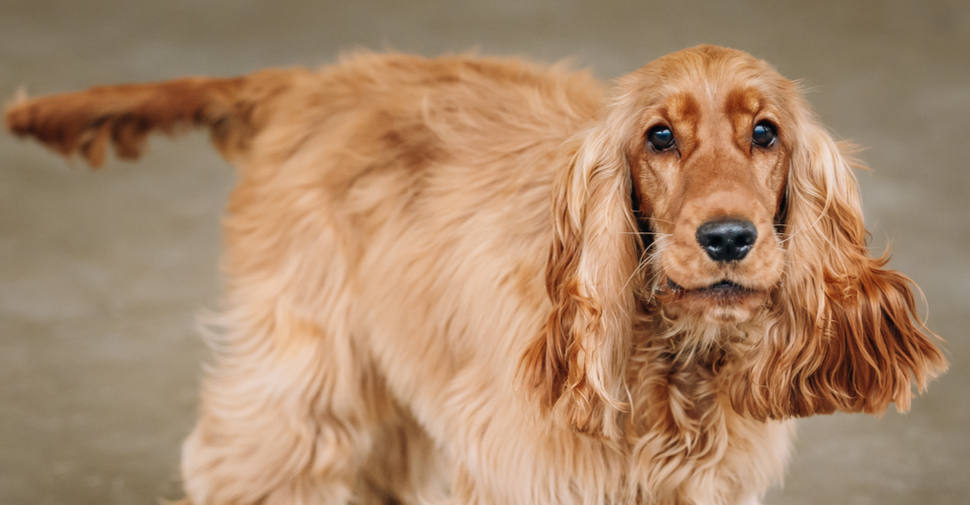 Honey blonde colored medium sized English Cocker Spaniel with long soft ears and tail wagging.