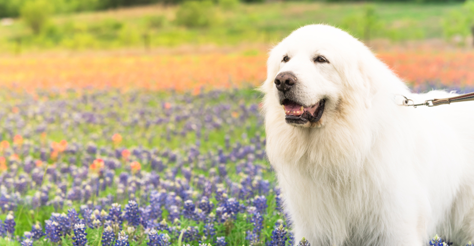 Giant, fluffy, white Great Pyrenees dog