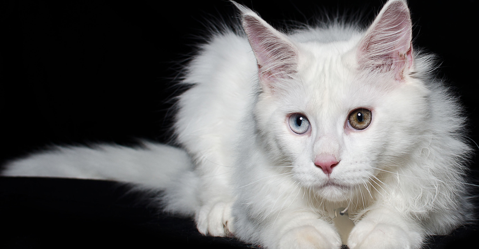 Fluffy Maine Coon white cat breed with tufted, long pointy ears and one blue eye and one hazel eye, pink ears and pink nose, crouching low on black surface against black background.
