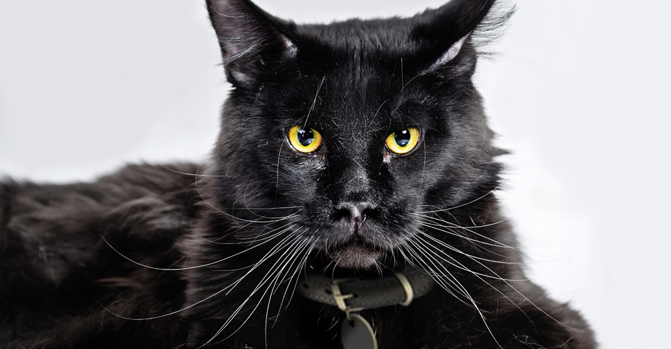 Large, black Main Coon cat with long whiskers and yellow eyes lying down and looking straight into camera on white background.