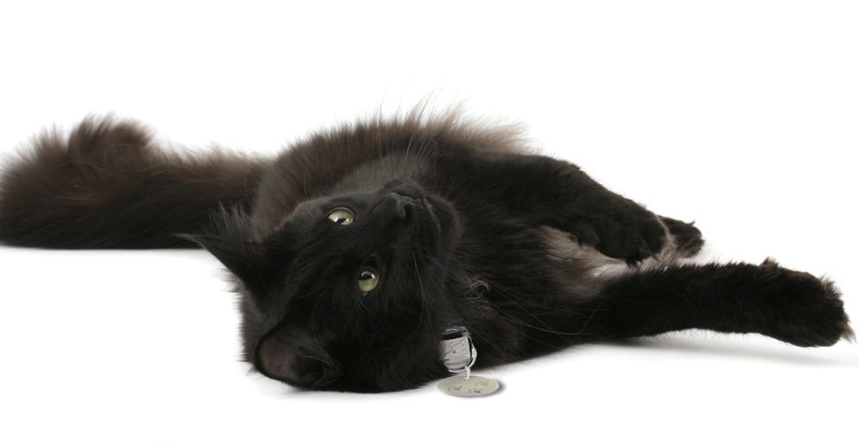 Playful, fluffy, black Norwegian Forest Cat lying on right side on white background.