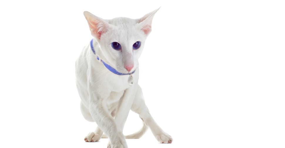 Short coated Oriental white cat breed with large ears and long, pointy almond-shaped head and eyes standing against white background.