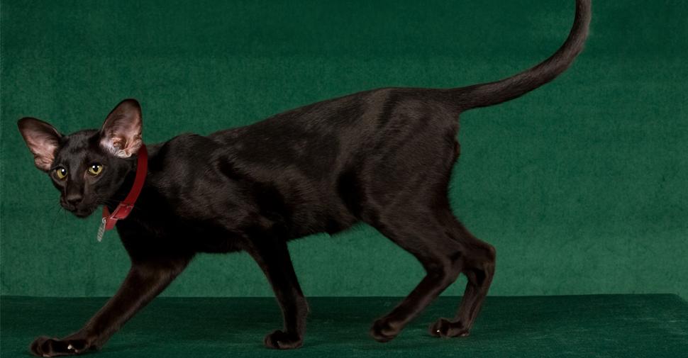 brown havana cats for sale