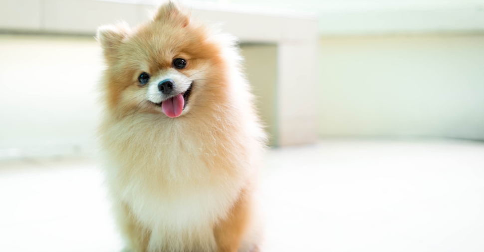 Cute orange and white Pomeranian smiling at the camera with white interior background