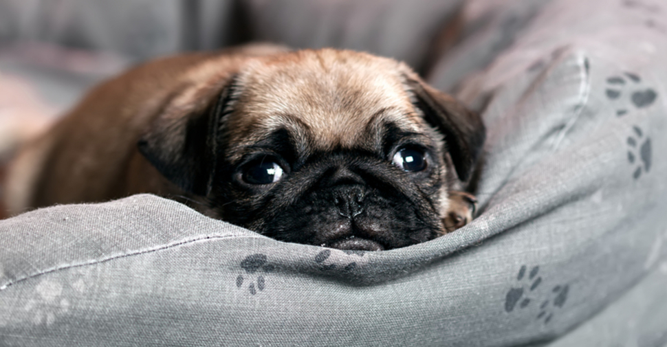 Cute, young, tan pug resting chin on a cushion and looking at the camera