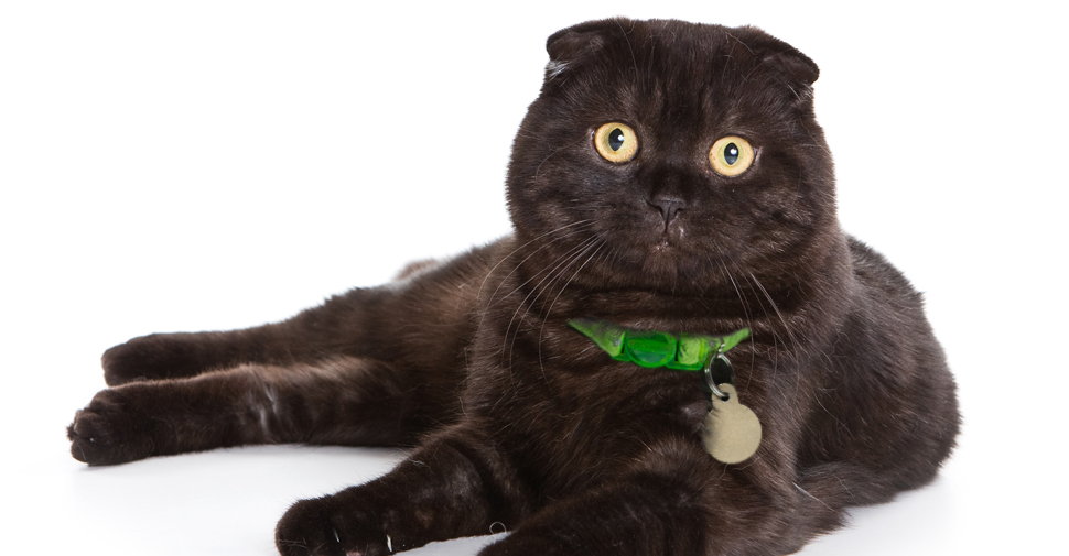 Shiny, black Scottish Fold cat with ears folded forward and big yellow eyes laying down with all four legs stretch out to the side on white background.