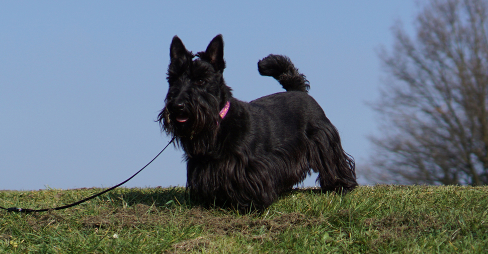 Small medium black Scottish Terrier dog walking outdoors in a park.