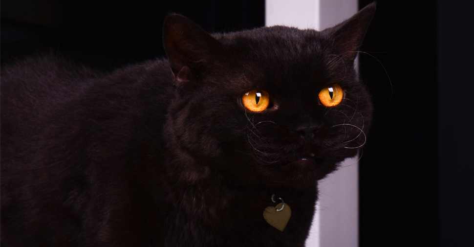 Black Selkirk Rex cat with big golden eyes on black background.