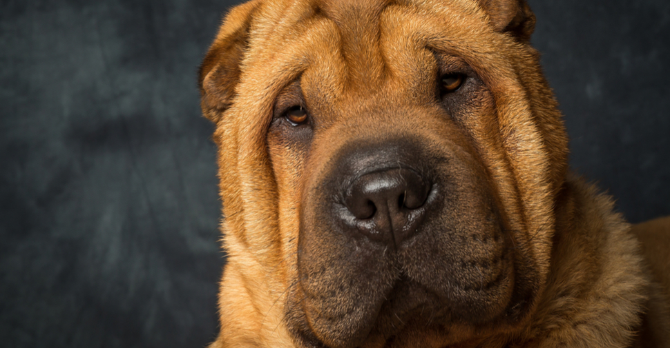 Close up of large, medium, wrinkly-faced, tan-colored Chinese Shar-Pei dog