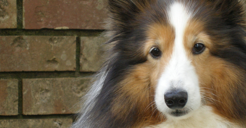 Fluffy, medium Shetland Sheepdog in front of brick wall.