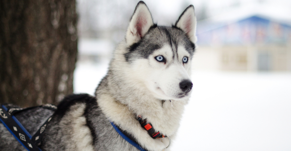 Cute, black-and-white, blue-eyed Siberian husky in a winter scene