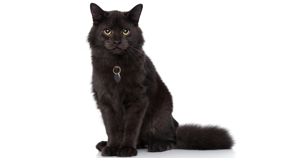 Large, fluffy, black Siberian cat with yellow eyes sitting upright with fluffy tail stretched out behind her.