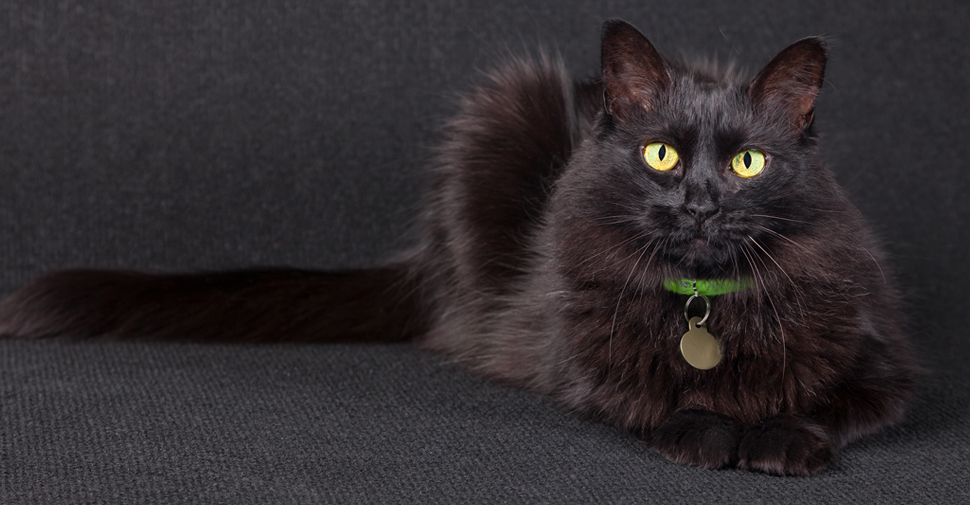 cdaced9ff91afc What Are The Types Of Black Cat Breeds