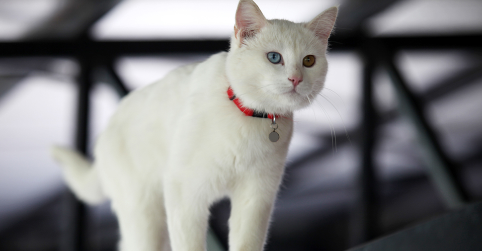 7c805058a0 Short hair Turkish Van white cat breed with one orange eye and one blue eye.