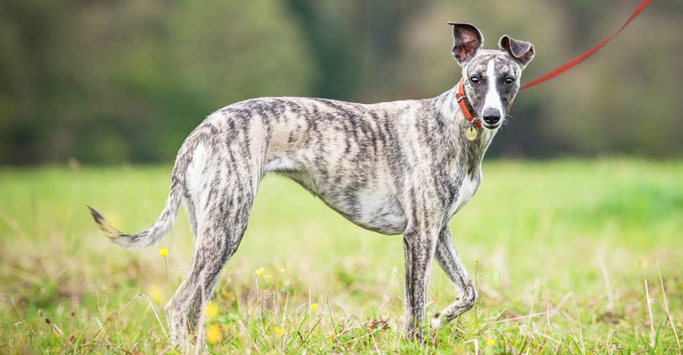 Medium sized Whippet dog on an outdoor walk through a grassy field.