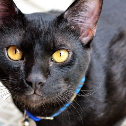 Black Japanese Bobtail cat with long ears and yellow eyes sitting on tiled floor looking up.