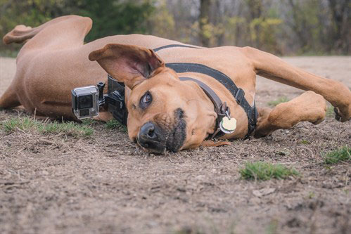 dog laying on the ground with go pro on his back