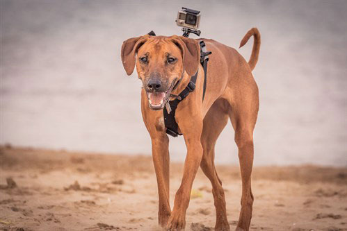 dog walking on the beach with a go pro on his back