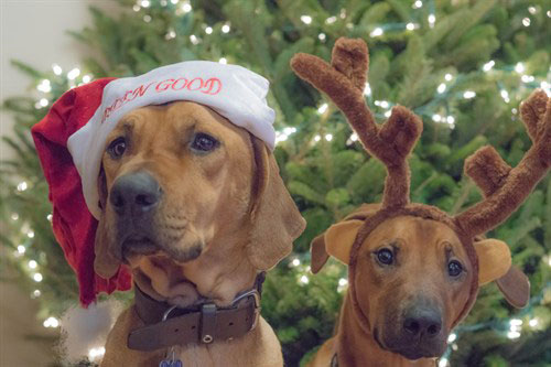 dog with a santa hat and a dog with antlers in front of the Christmas tree