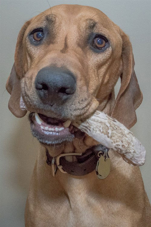 dog looking at the camera with antler in his mouth