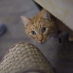 yellow-cat-peeking-out-from-under-couch