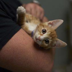 orange-and-white-kitten-being-held